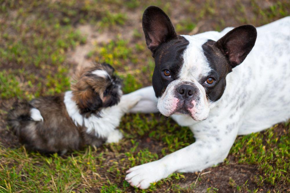 Shih Tzu Welpe mit Französische Bulldogge