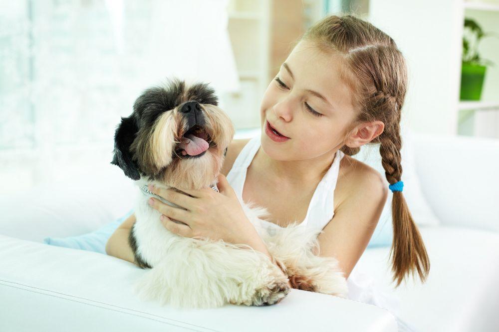 Shih Tzu als Familienhund