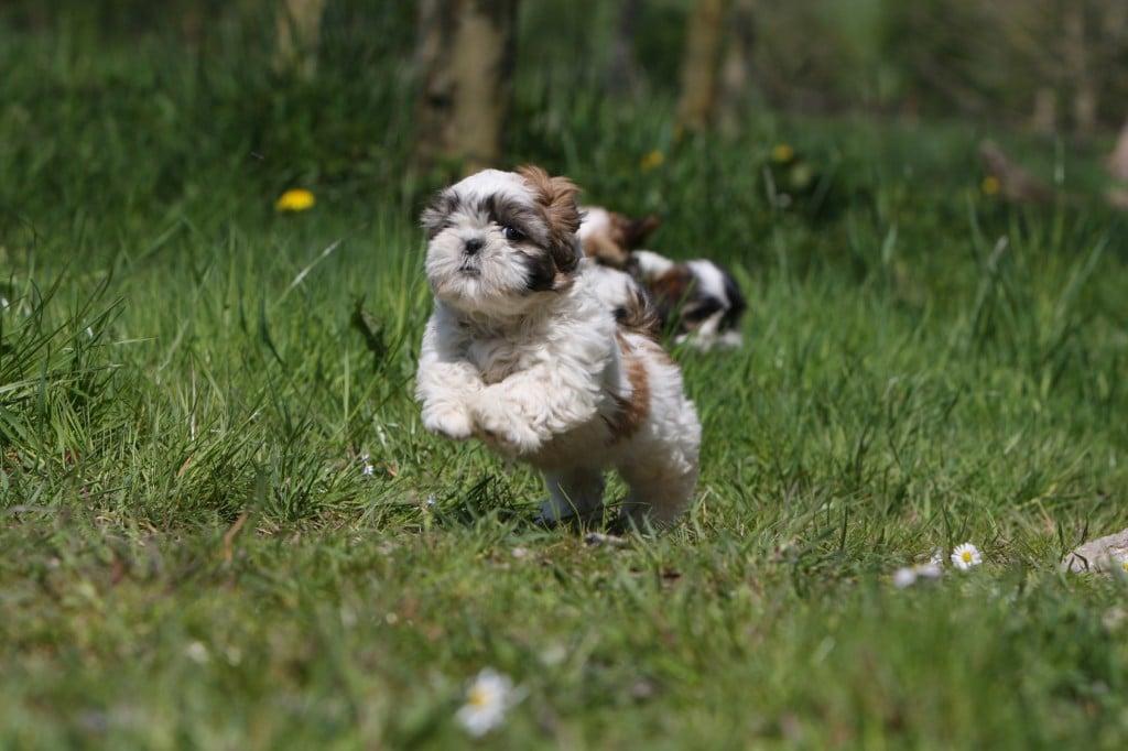 Ein lebendiger Shih Tzu der auf dem Rasen tobt.