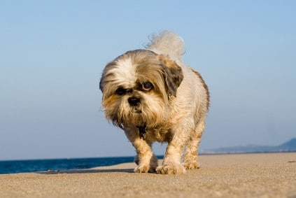 Shihtzu läuft am Strand