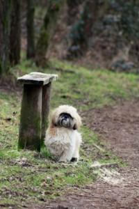 ShihTzu auf Wanderschaft im Wald