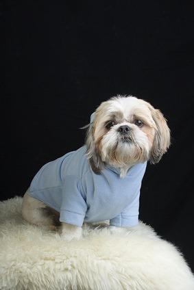 Shih Tzu in blauem Pullover auf schwarzen Hintergrund