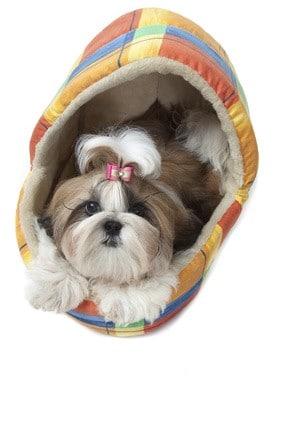 Der Shih Tzu fühlt sich im Hundekorb wohl.