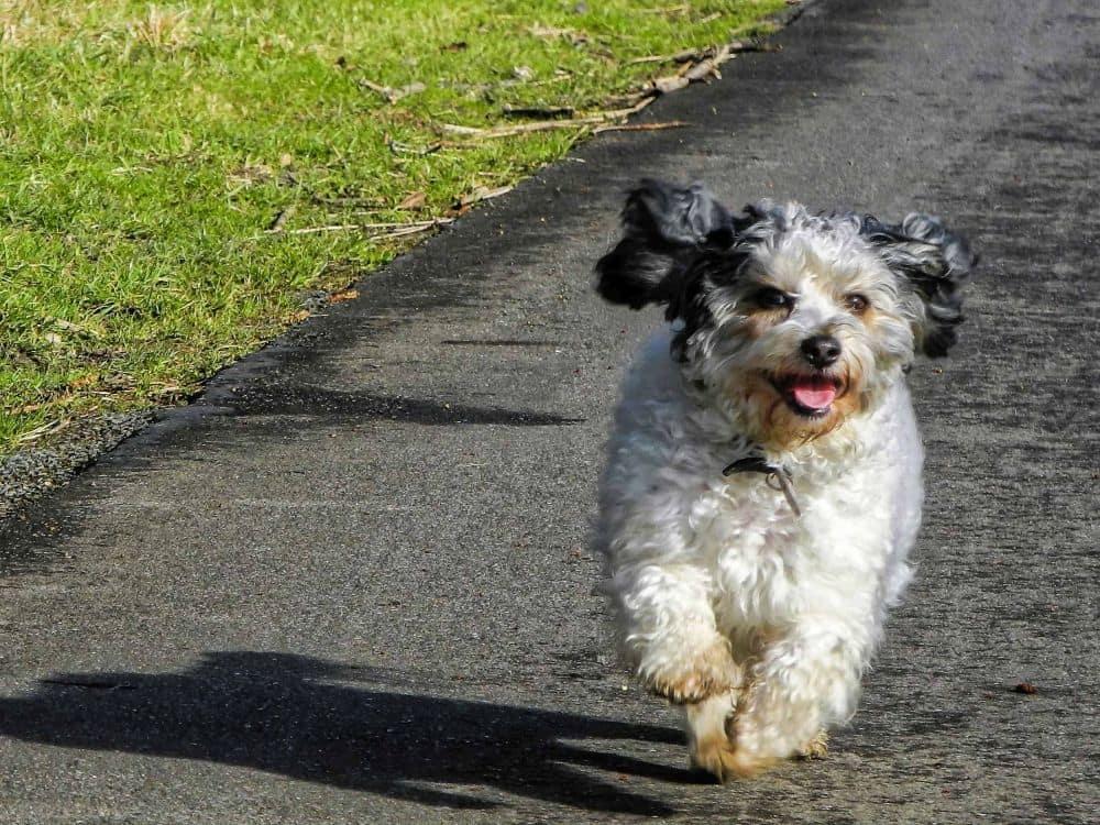 Bolonka-Shih-Tzu Mischling Hund