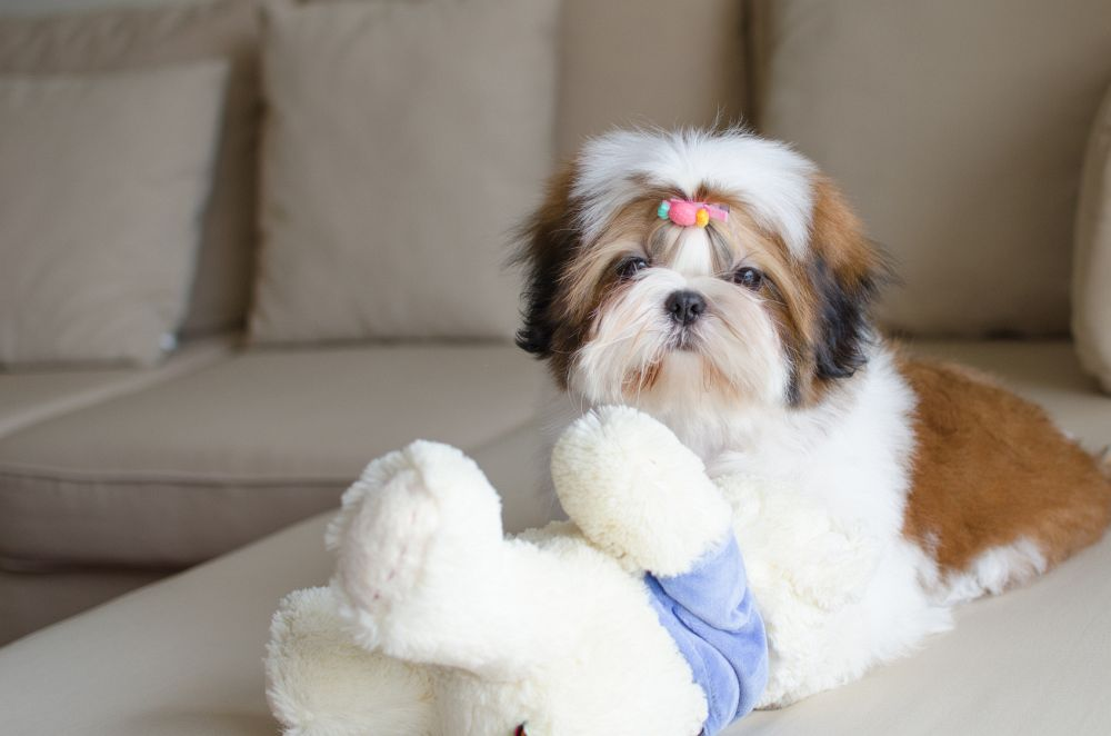 Süßer Shih Tzu auf dem Sofa