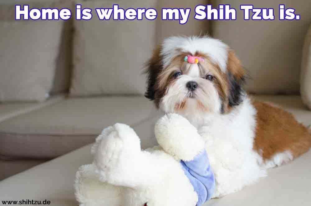 Ein Shih Tzu und ihr Spielzeug auf dem Sofa