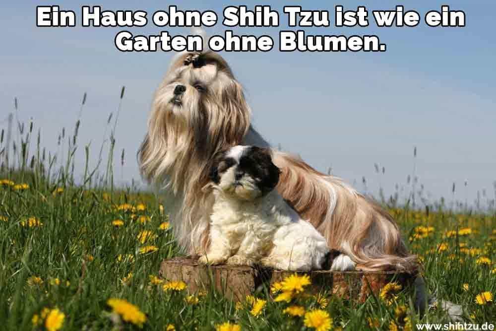 Zwei Shih Tzu im Garten