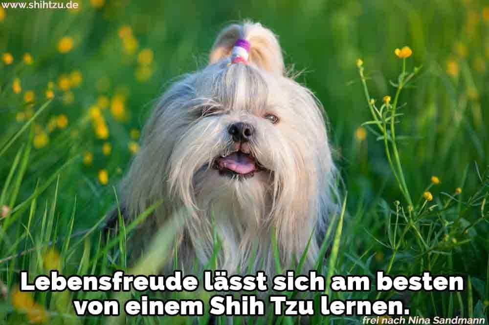 Ein Shih Tzu auf dem Rasen