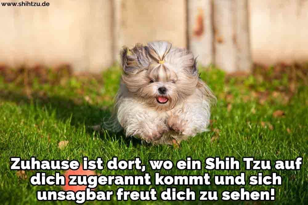Ein Shih Tzu rennt auf dem Rasen