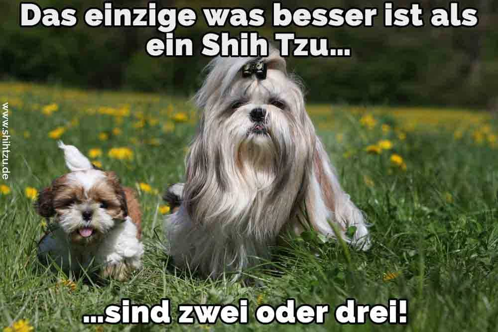 shih tzu zitate und spr che. Black Bedroom Furniture Sets. Home Design Ideas
