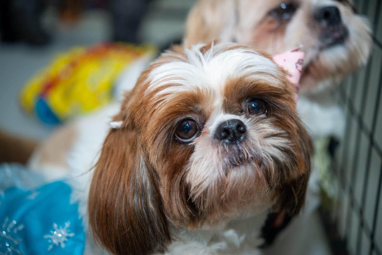 Shih Tzu in Not, aus dem Tierheim oder Tierschutz